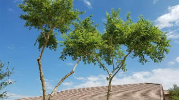 freshly-trimmed-trees