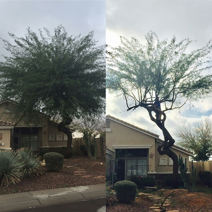 mesquite-tree-trimming-gilbert-az
